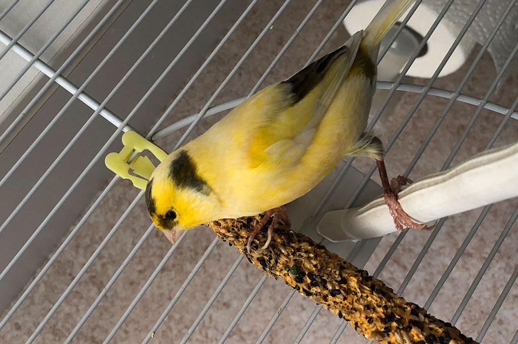 Vogel Rahel