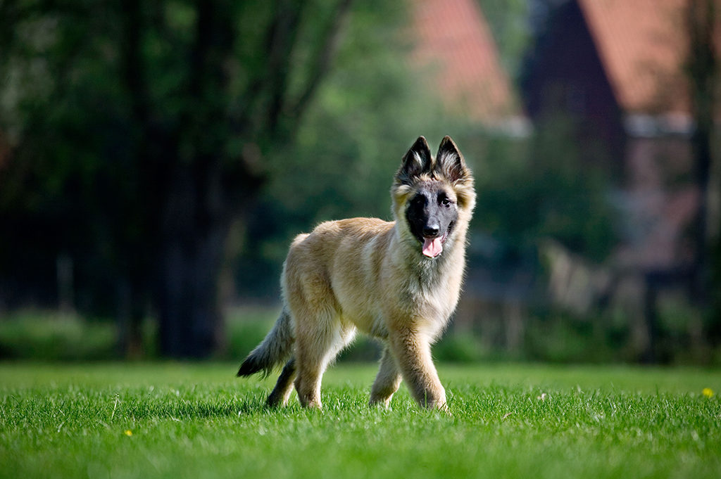 BEK457 Belgian shepherd Tervueren dog pup on lawn in garden