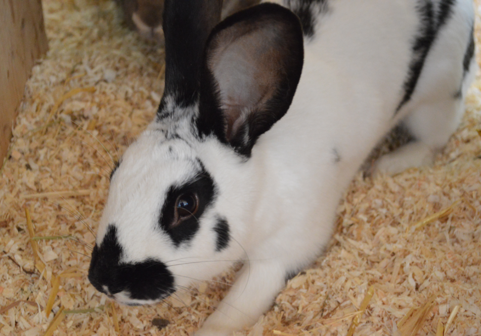 Kaninchen-Bella2